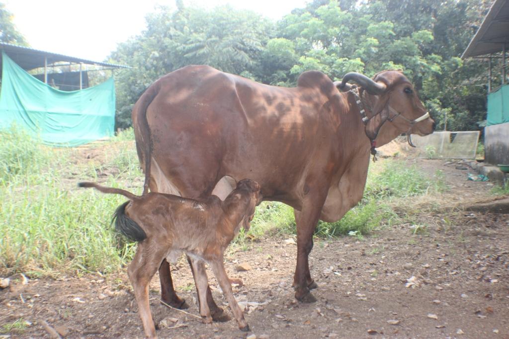 Captains Farm Gir Cow4