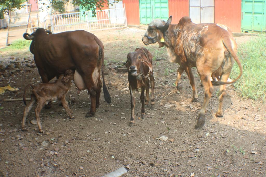 Captains Farm Gir Cow3